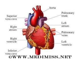 general knowledge about Heart.