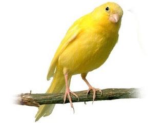 Pakan Burung Kenari