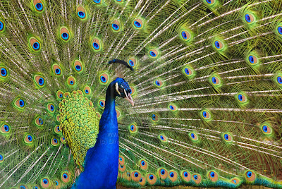 peacock with open feather
