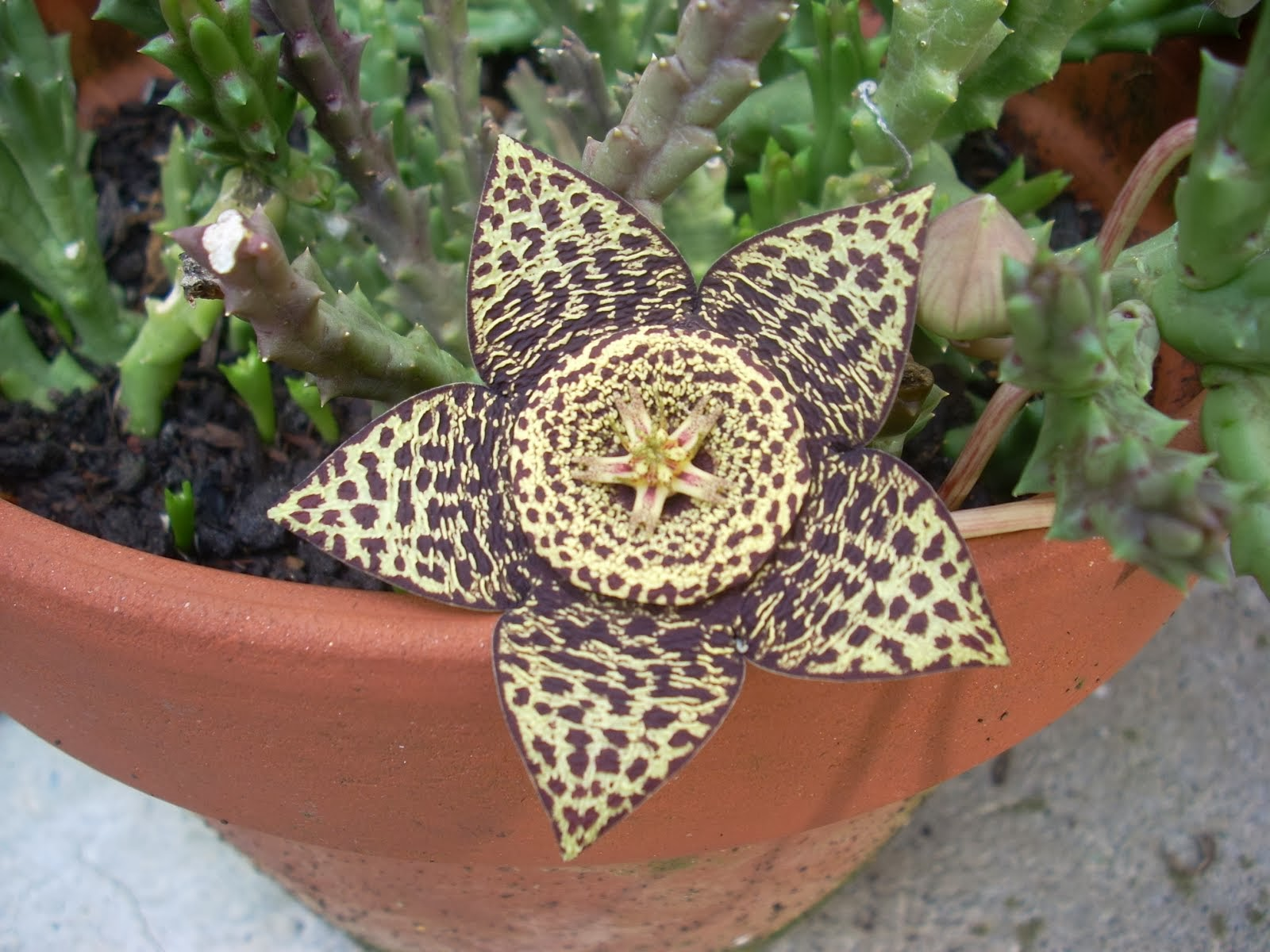 Straphelia variegata 2012