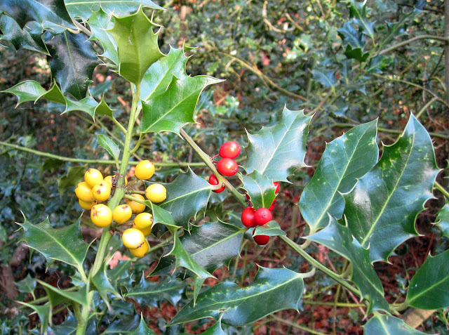 Holly, Ilex aquifolium, with yellow berries next to one with red berries.  Hayes Common, 10 October 2011.
