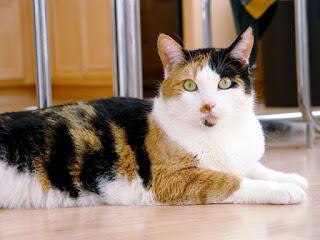 kucing kembang telon