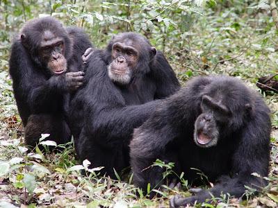 guerra chimpancé