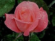 Poema de Amor. La base de mi nuca te desea,. tu rosa transparente, (rosa con rocio)