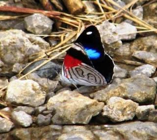 Totul despre fluturi: Diaethria neglecta
