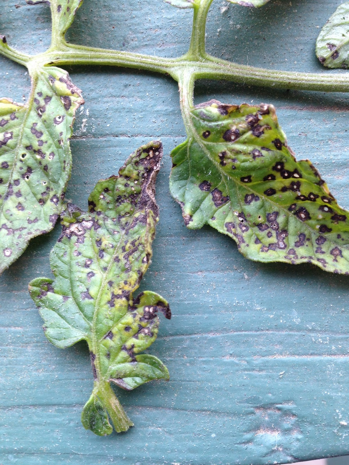 grow it eat it  leaf spots diseases of tomato and pepper