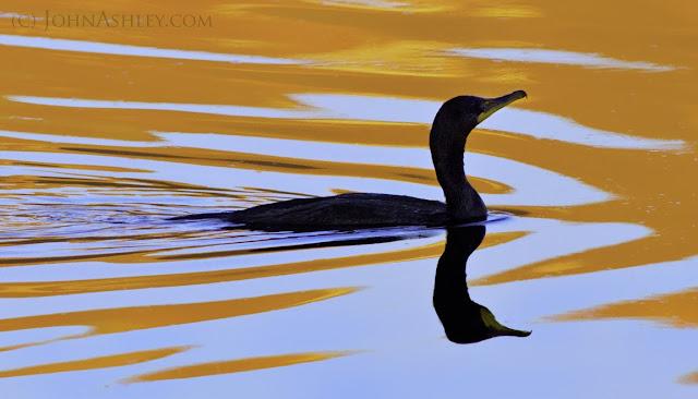 Double-crested Cormorant (c) John Ashley
