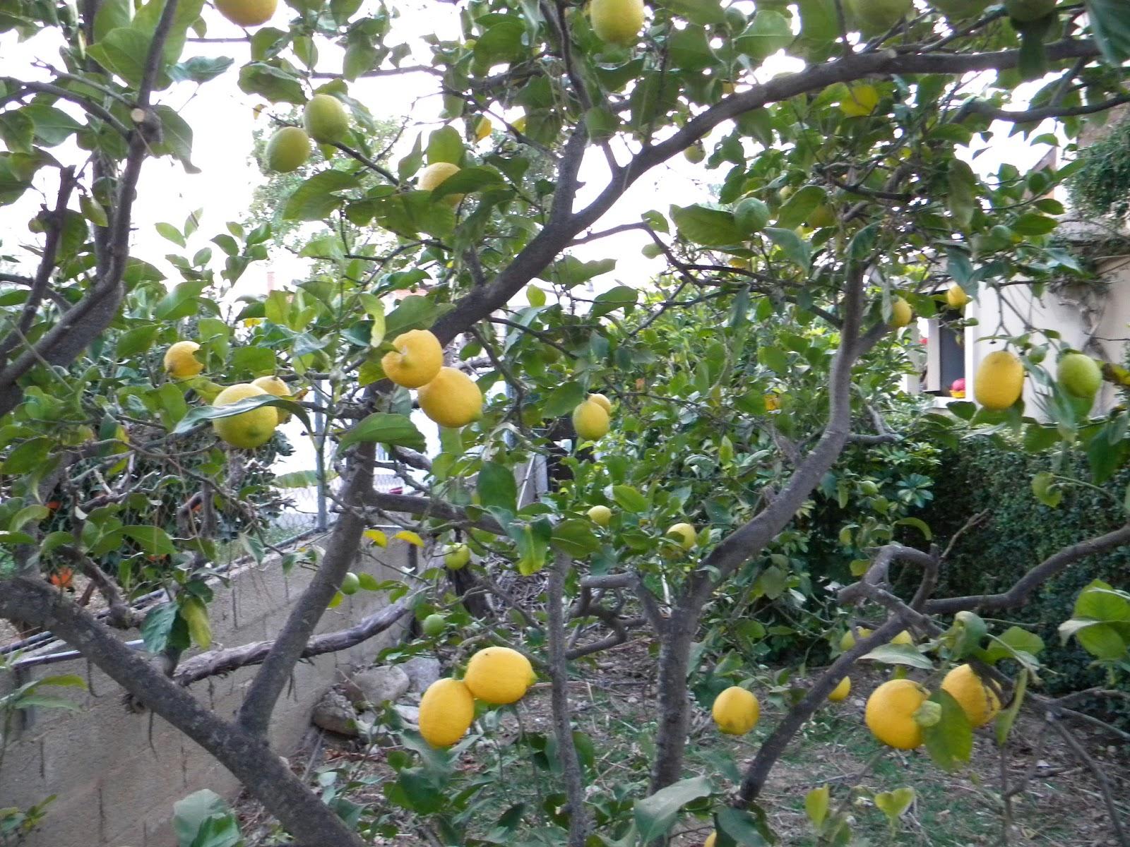 El huerto de tatay limones para navidad for Limonero sin limones