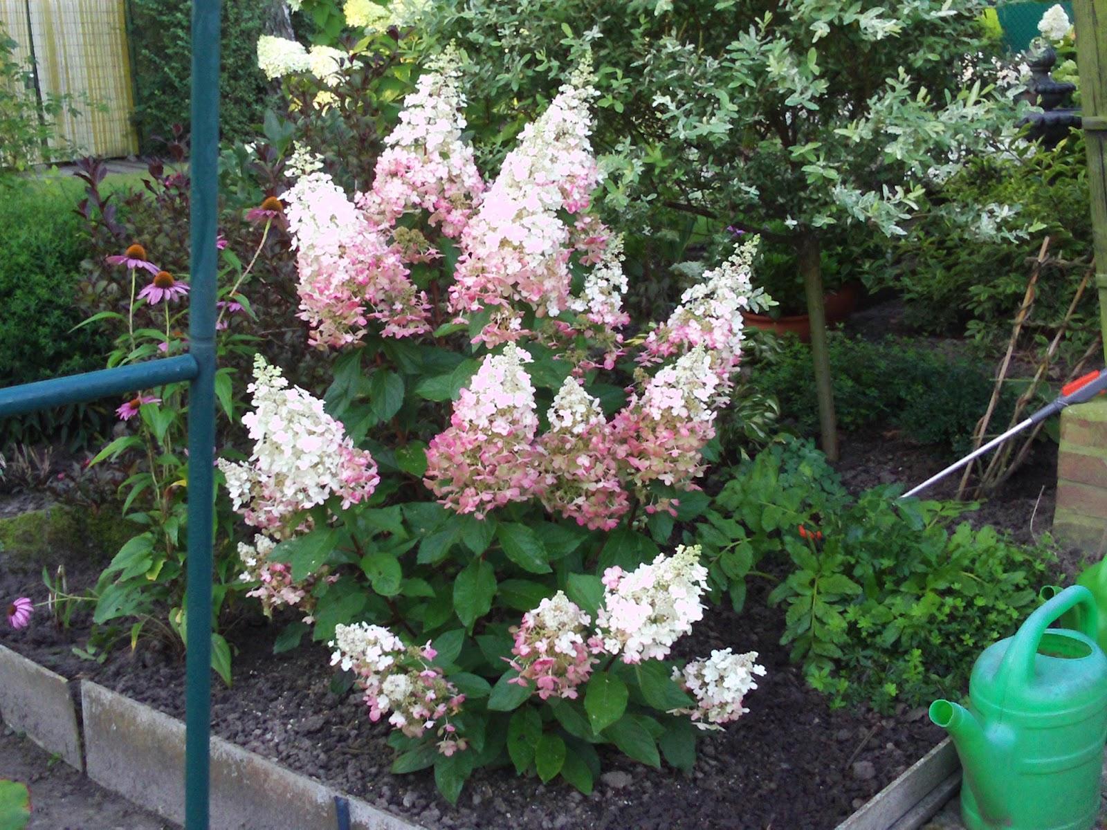 hydrangea paniculata pink lady rispenhortensie habitus. Black Bedroom Furniture Sets. Home Design Ideas