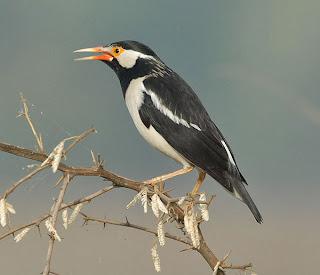 Burung Jalak Kapas