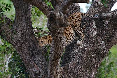 One of the Leopard cubs from Rukvilla - Yala, Sri Lanka