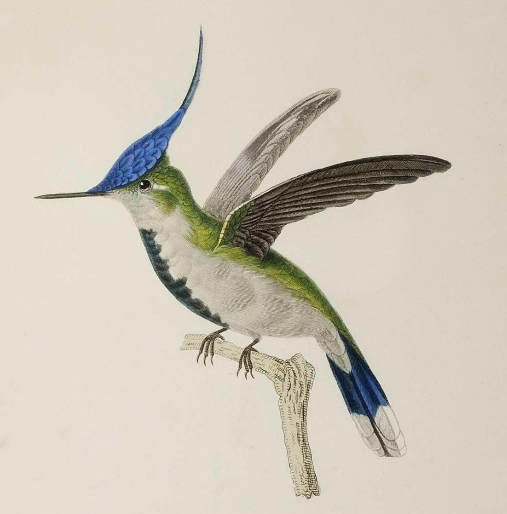 Trochilidae illustration by René Primevère Lesson