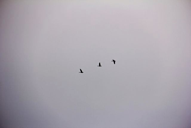 three geese in flight