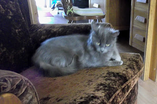grey kitten on a brown chair