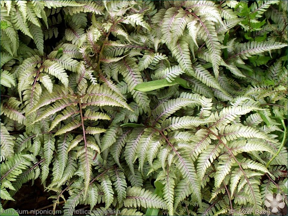 Athyrium niponicum - Wietlica iseańska, wietlica japońska