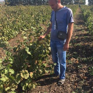 Сад фундука на Донбассе итальянские сорта