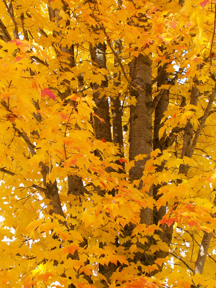 fall autumn tree golden yellow leaves photo copyright Jennifer Kistler 2012