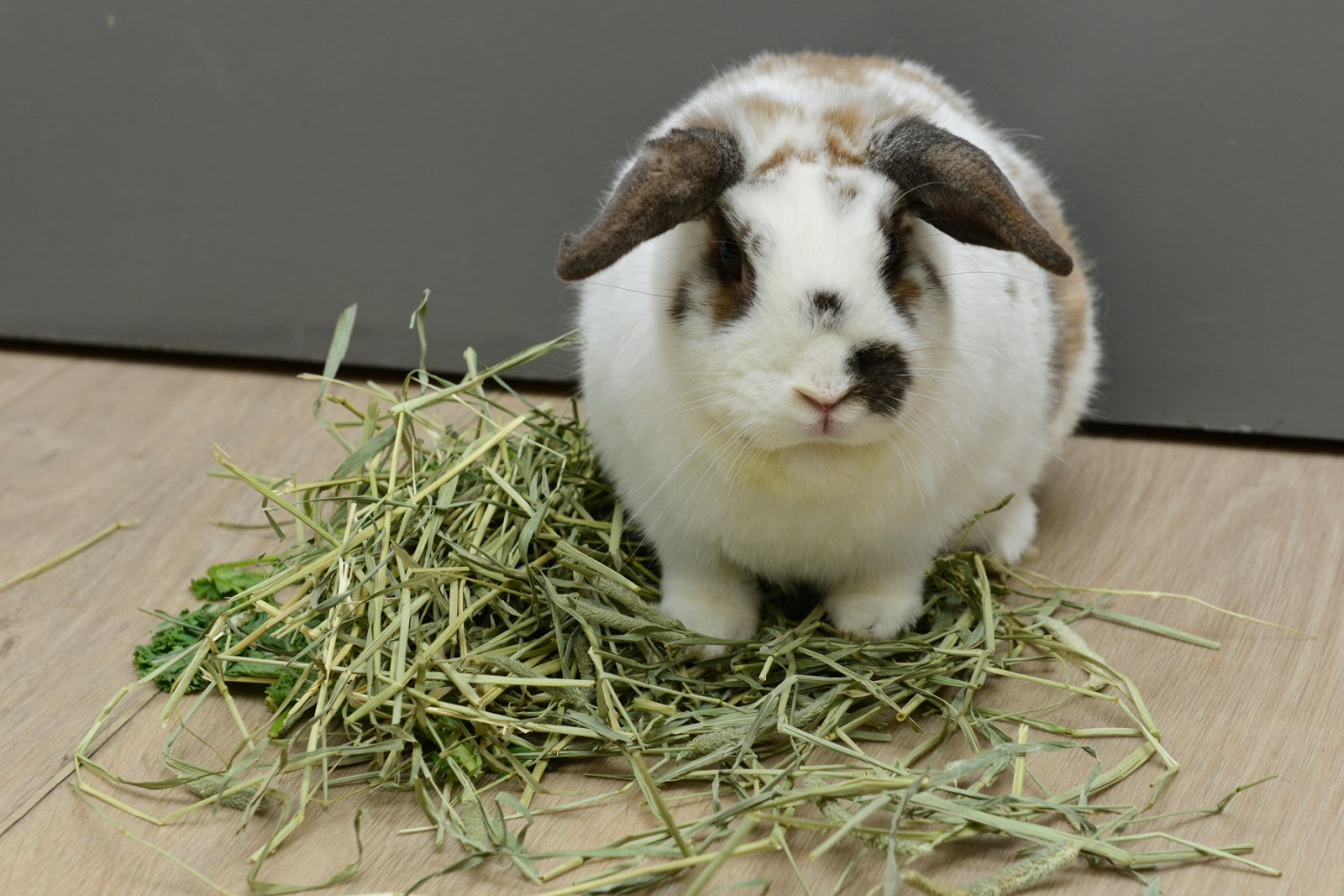 rabbit bunny hay timothy