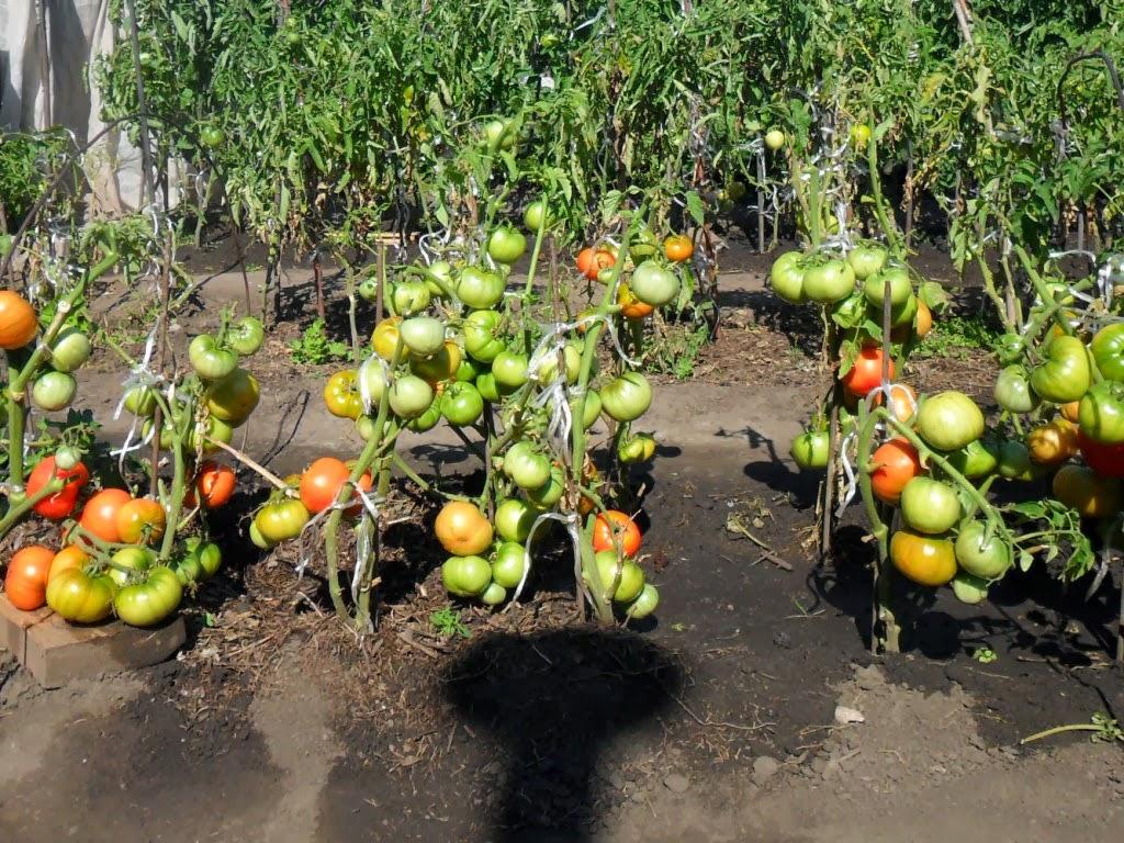Опыт выращивания помидоров