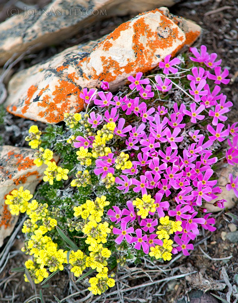 Draba oligosperma and Douglasia montana (c) John Ashley