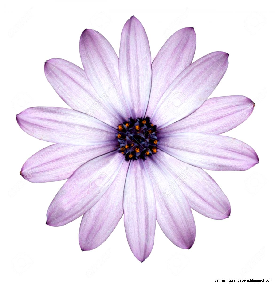 Beautiful Light Purple Daisy   Blossoming Osteospermum   Flower