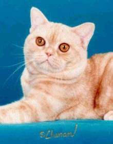 american shorthair cat animal cute albino cats