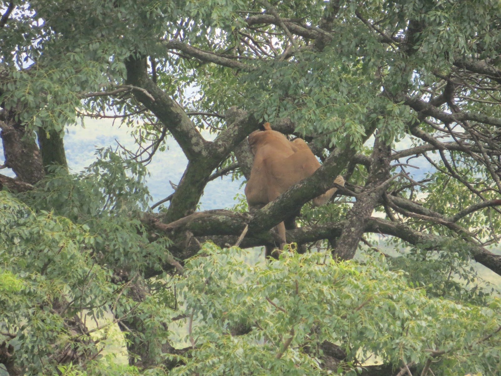 Mtubatuba South Africa  City new picture : Lions in trees | Chronicling Life In Mtubatuba, South Africa