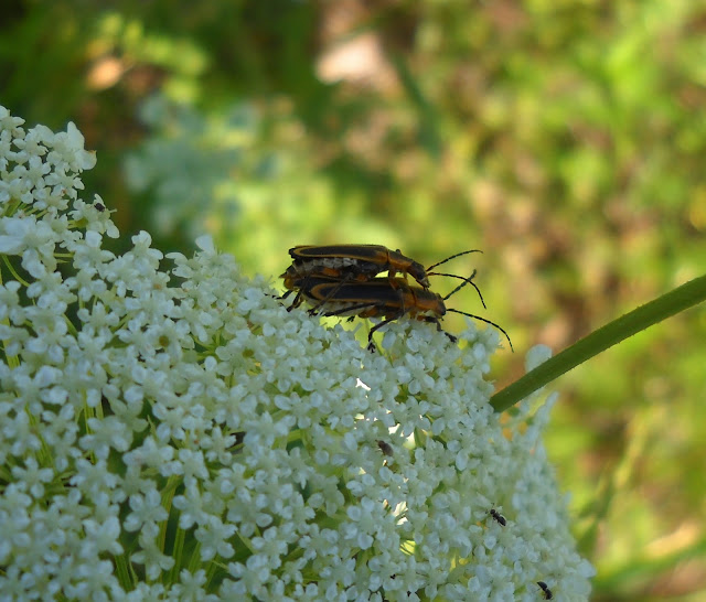 Mating bugs on Queen Anne's Lace, White Rock Lake, Dallas