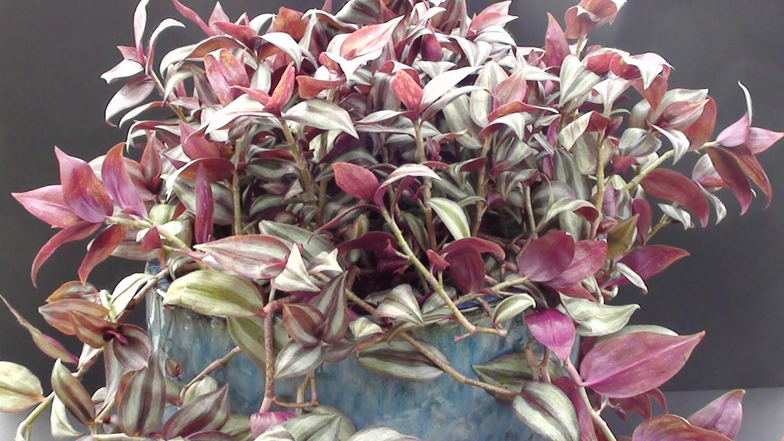 Grorite greenhouses easy to care for house plant - Wandering jew plant name ...