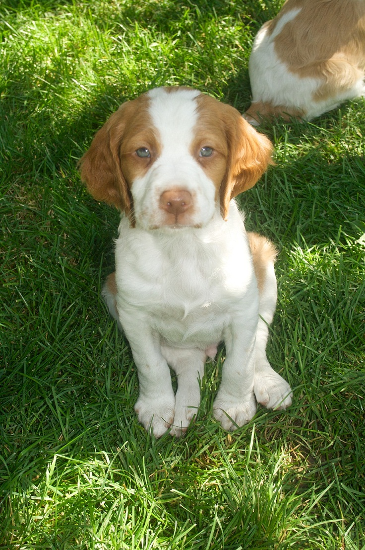 Brittany Puppies Pictures Images | Puppies Dog Breed ...