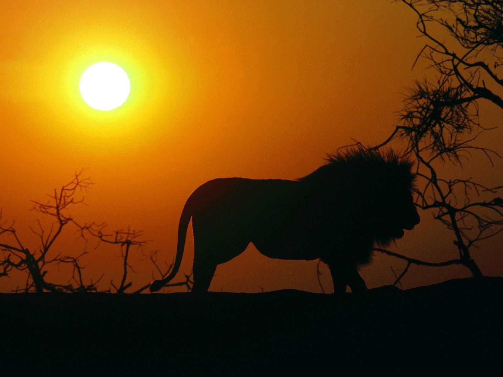 Imagenes de leones imagen leon en la sabana junto al amanecer - Animales salvajes apareandose ...