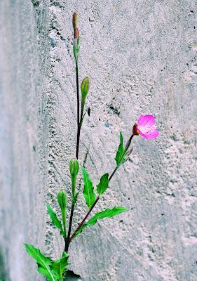 Cuna de Ángel (Flores Silvestres de Veracruz)