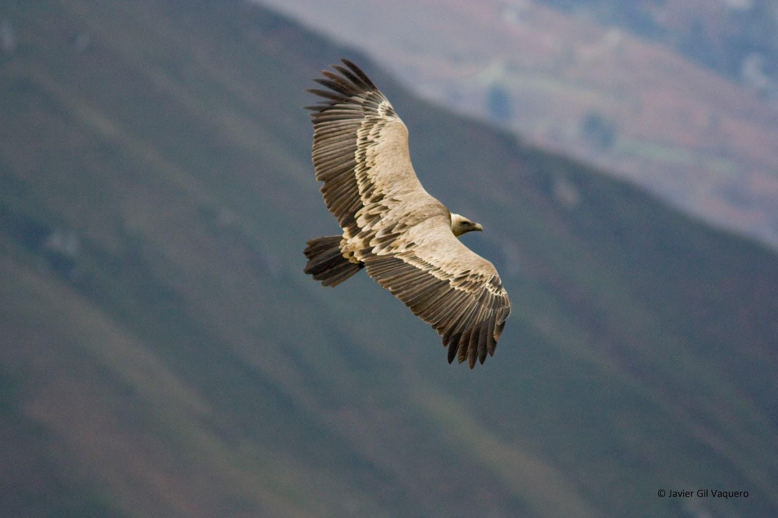 Birding Picos de Europa: TRIP 1. VULTURES AND EAGLES