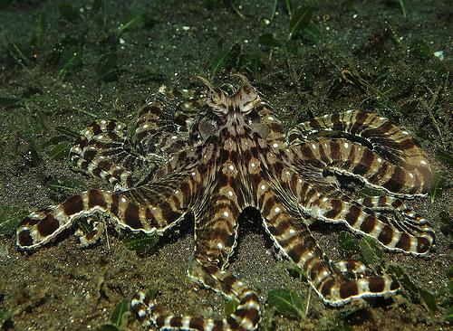 Mimic Octopus Flounder Mimic Octopus