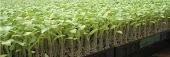 Sistema de Produção de Mudas de Tomate para Industrialização .