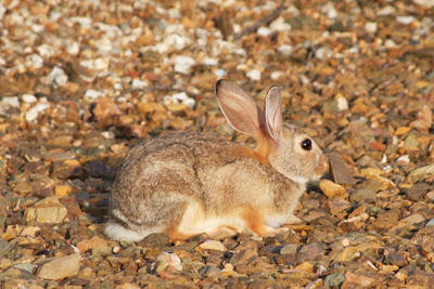 wild bunny photograph by Jennifer Kistler copyright 2013 Prescott Arizona
