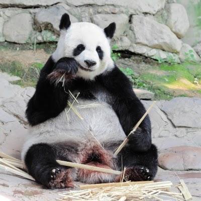 دب الباندا العملاق بالصين