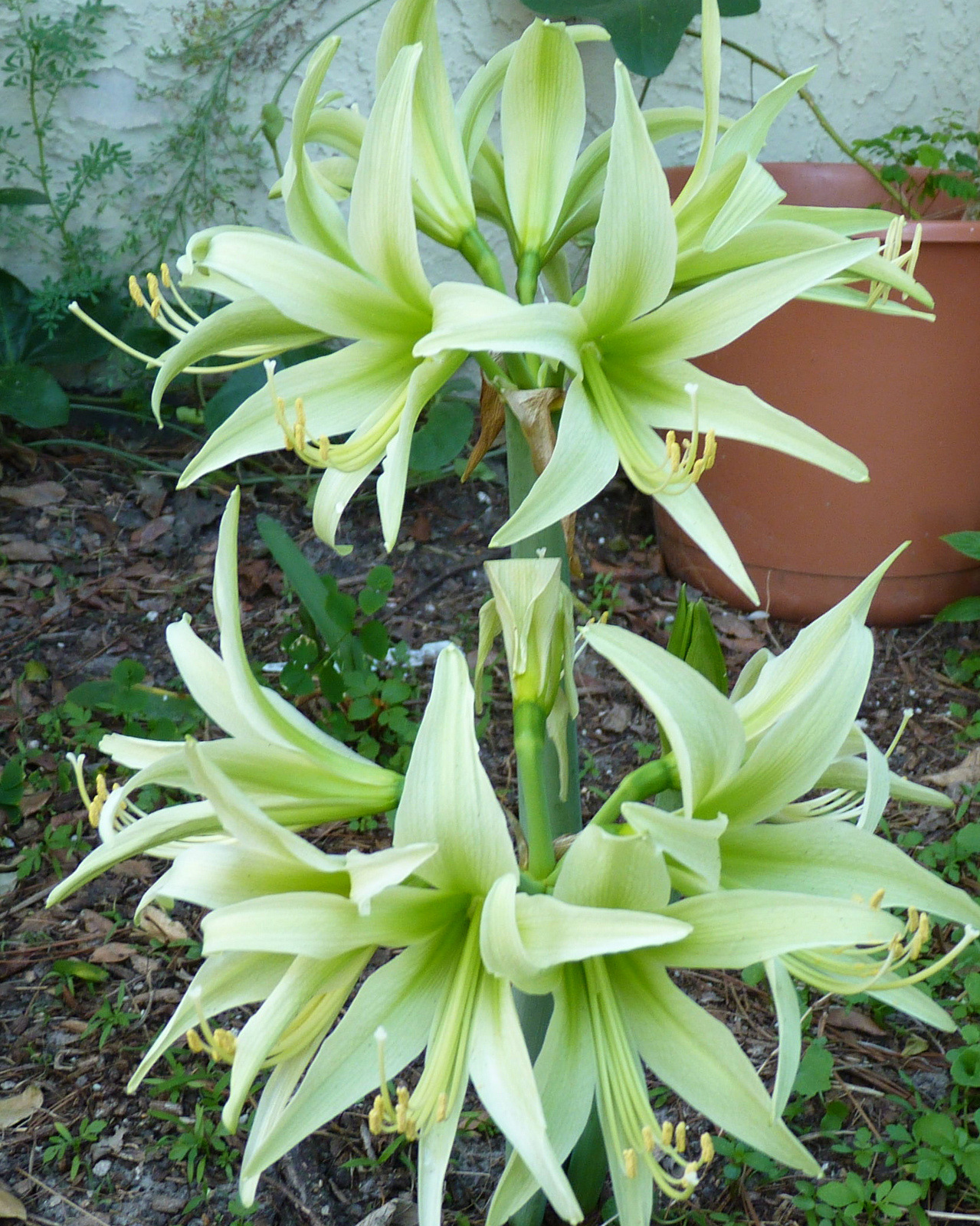 My florida backyard pale green stars for Amaryllis hippeastrum
