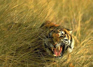 royal bengal tiger coming out of the sundarban jungle with jaws open