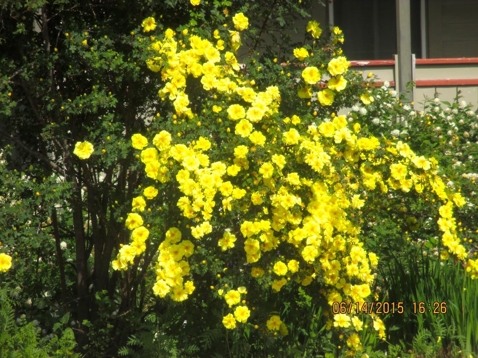 "Art's Bayfield Almanac: HARRISON'S YELLOW ROSE, ""THE ..."
