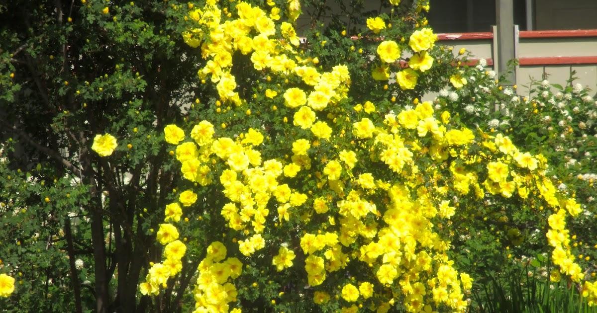 Art S Bayfield Almanac Harrison S Yellow Rose Quot The