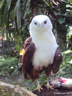 Brahminy Kite at Philippine Eagle Center