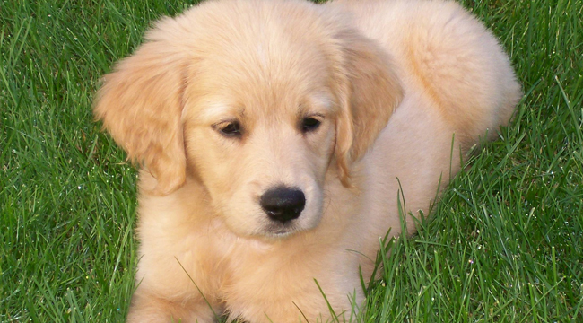 Golden Retriever Dog: Miniature Golden Retriever
