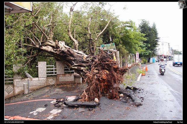 2013-07-13 蘇利颱風侵襲南投 連根拔起耶!