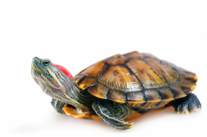 Sex of red slider turtles