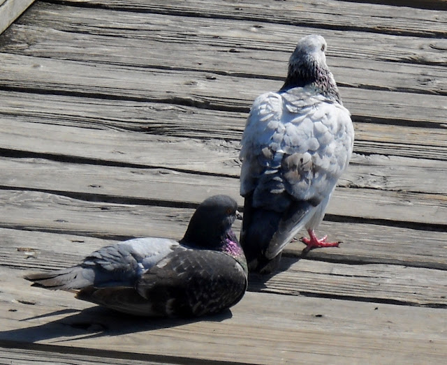 A pair of feral pigeons on the pier at Sunset Bay, White Rock Lake, Dallas, Texas