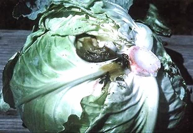 Слизистый бактериоз