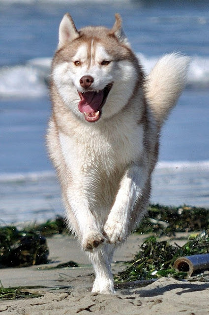How fast can a Siberian Husky run?