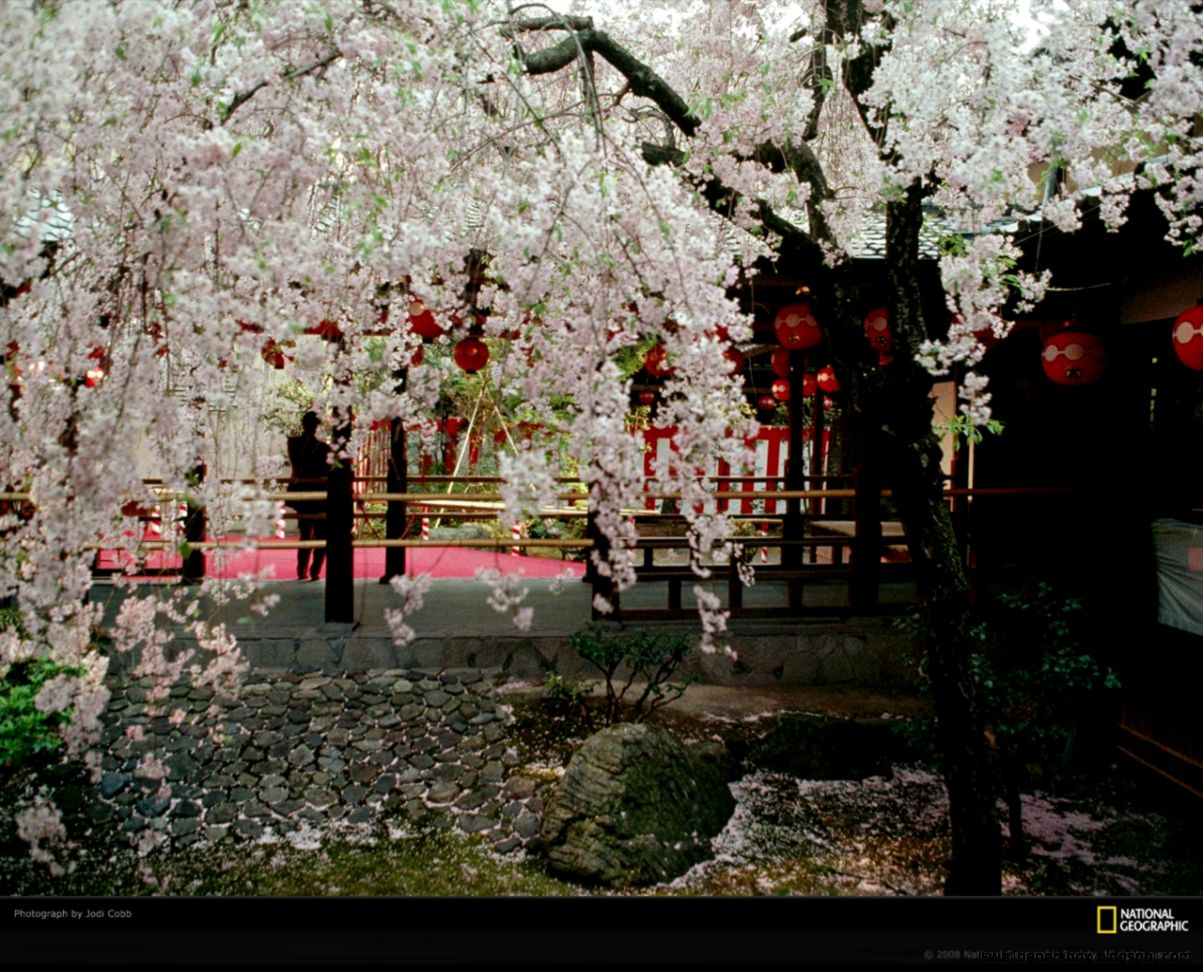 View Original Size Japanese Cherry Blossom Garden Wallpaperrefreshrose