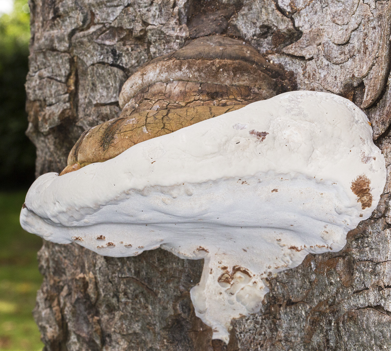 Ganoderma species on Horse Chestnut.  The Knoll, Hayes, 26 September 2014.